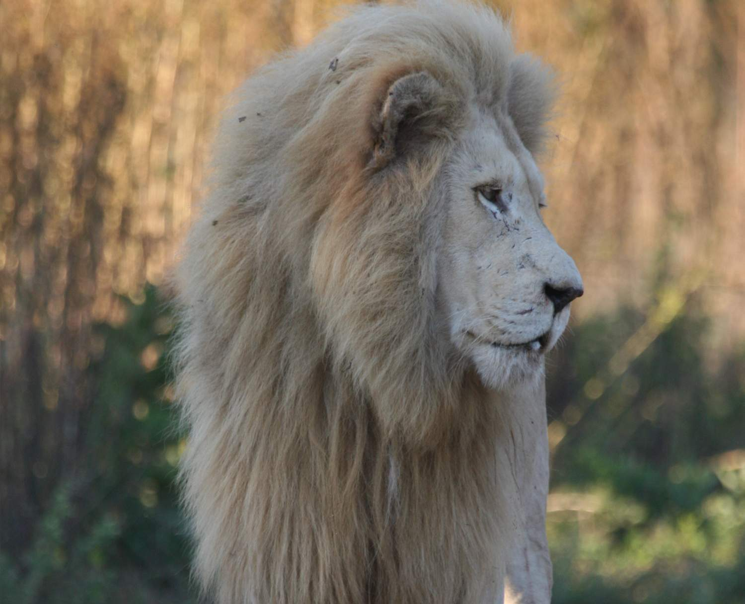 Close up of White Lion in profile view