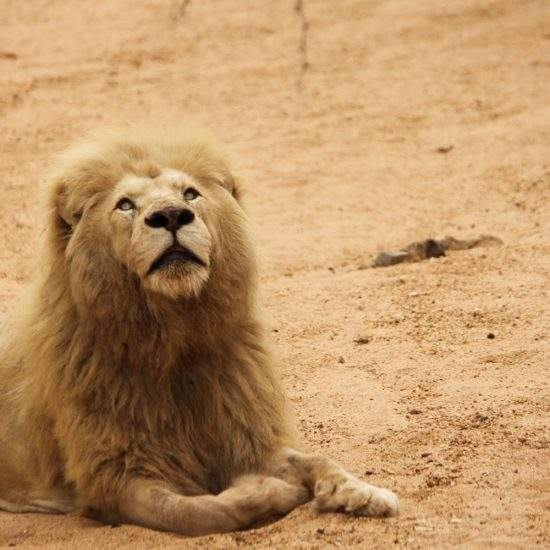 Male White Lion stares at the skies whilst lying in a dry riverbed