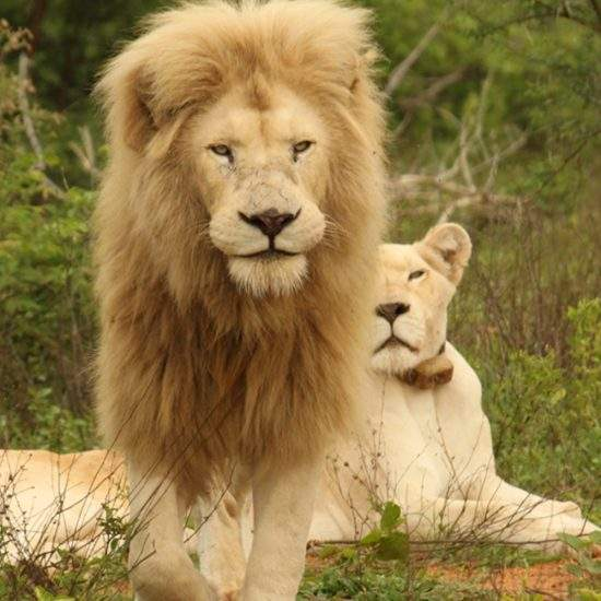 Male White Lion walks towards the camera while White Lioness lies in the background