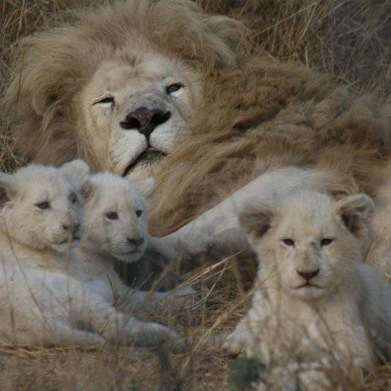 Male White Lion lying in the grass with his three cubs