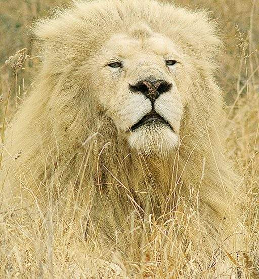 Male White Lion (Mandla) lying in the grass
