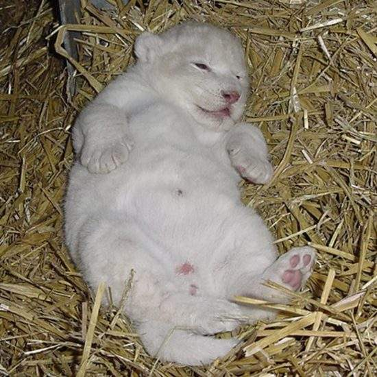 Baby White Lioness, Marah, lying in a bundle of hay