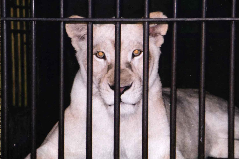 White Lioness in a dark cage