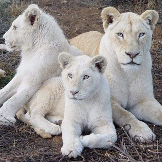 White Lioness lying together with her two cubs