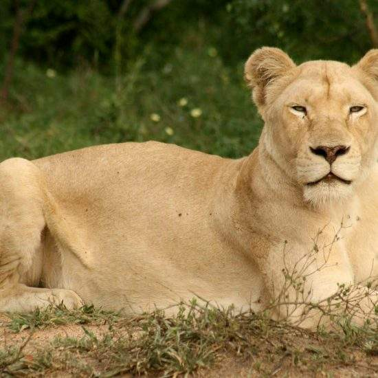White Lioness lying down and looking at the camera