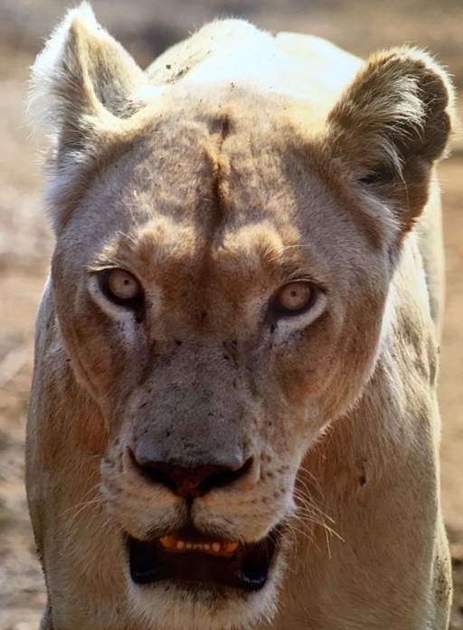 Close up of White Lioness, Marah, looking directly into camera