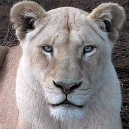 Close up of a White Lioness looking into the camera