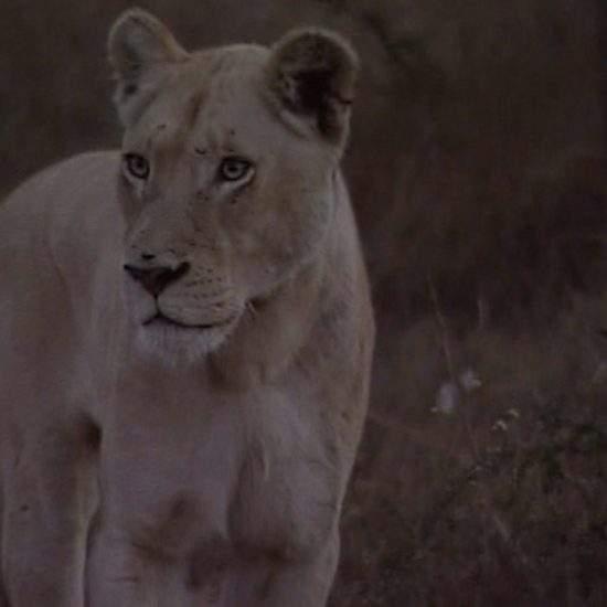 White Lioness, Marah, looking alert at dusk