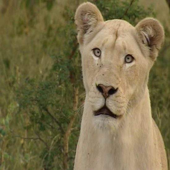 White Lioness looking alert