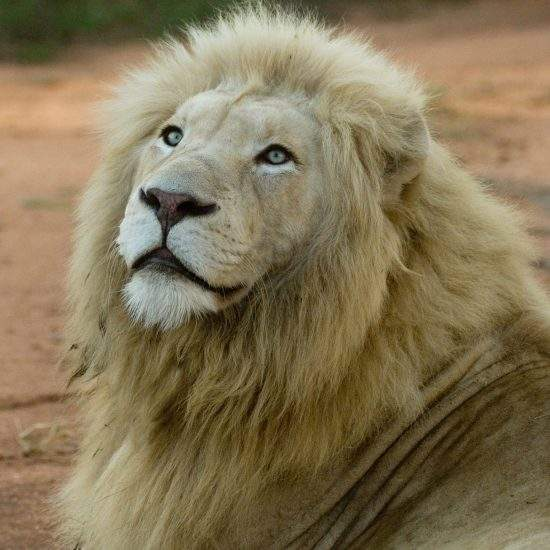 Close up of White Lion looking at the skies