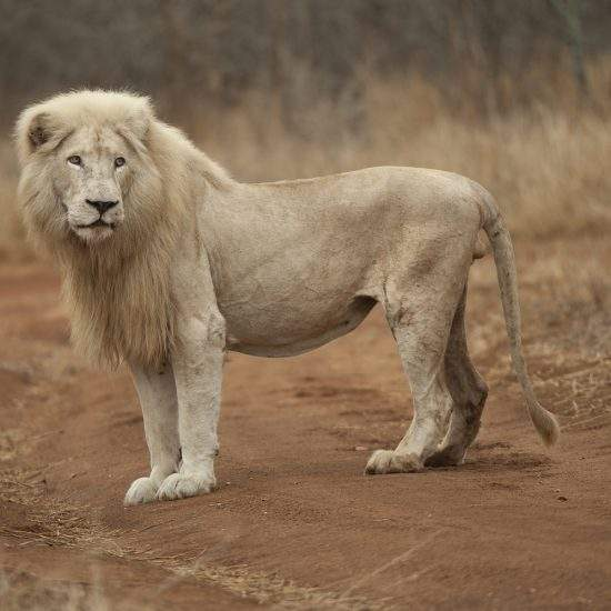 White Lion standing in side-view on a sandy road