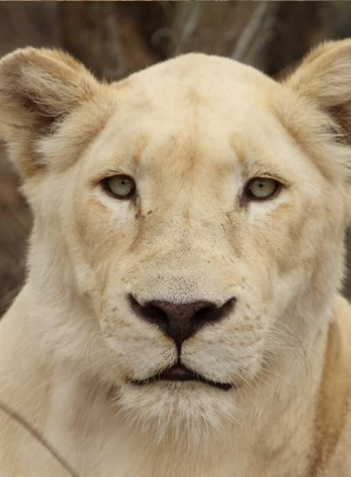 Close up of White Lioness, Nebu