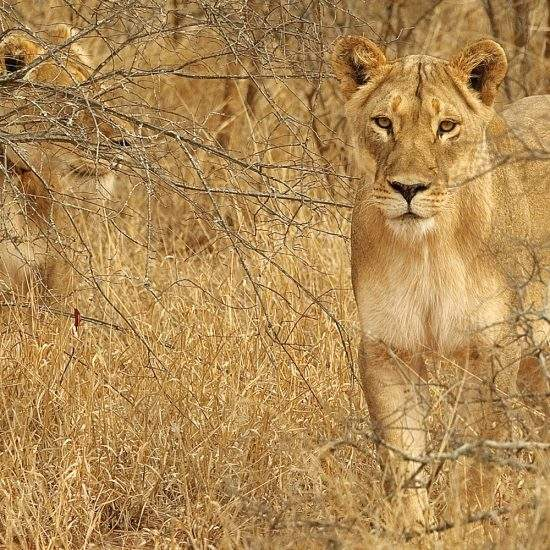 Two golden lionesses camouflaged well in the dry bush