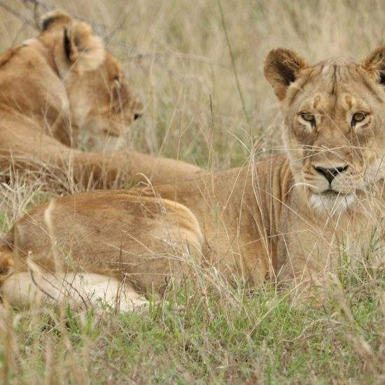 Two golden lionesses lying in the grass, one facing the camera and one facing away from the camera