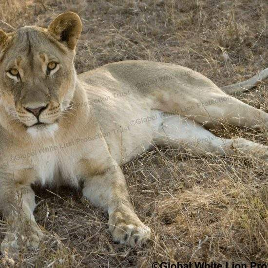 Golden lioness lying down and looking at the camera
