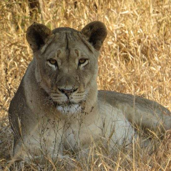 Golden lioness lying in the shade in a field of dry, gold grass
