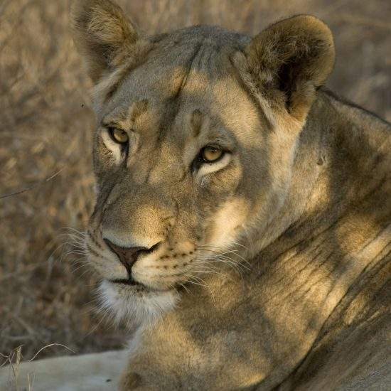 Close up of golden lioness in dappled shade