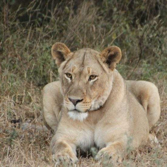 Golden lioness lying down in the dry bush