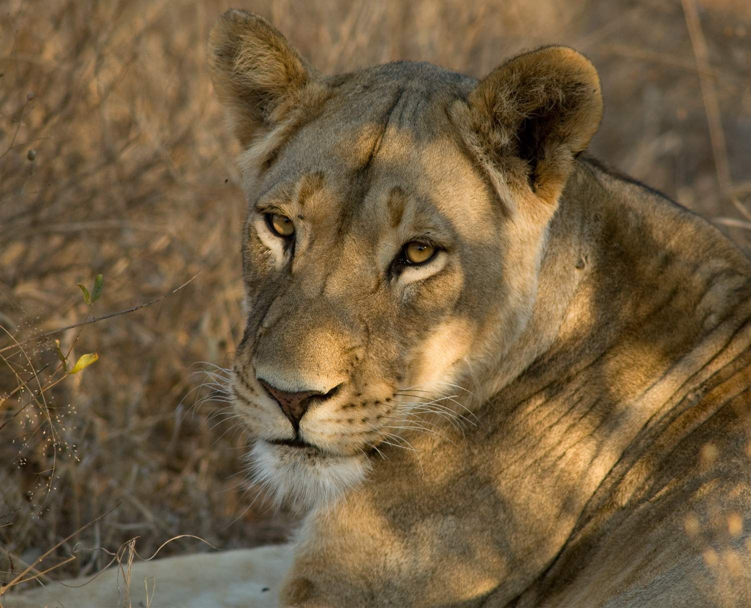 Close up of golden lioness lying in dappled shade