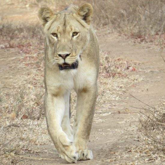 Golden lioness walking down a sandy road towards the camera