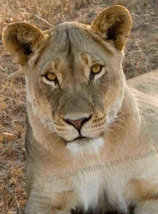 Close up of golden lioness, Tswalu, staring into the camera