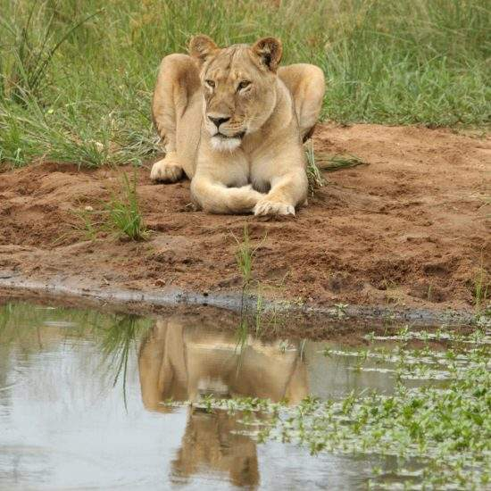 Golden lioness at a water hole, with her reflection in the water