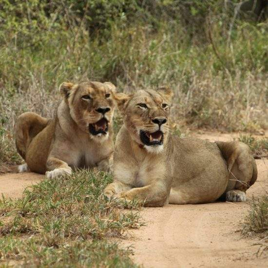 Two golden lionesses lying together on a sandy road