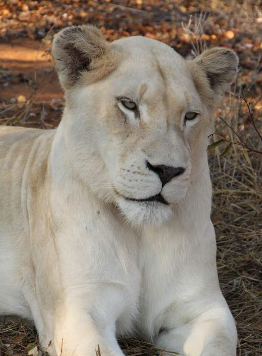 Close up of White Lioness, Zihra