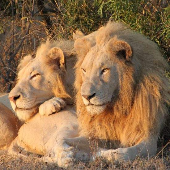 Two young male White Lions lying together watching the sunrise