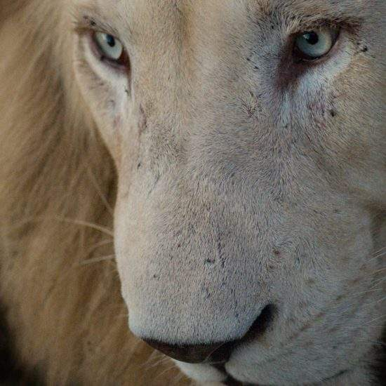 Extreme close up of White Lion's face