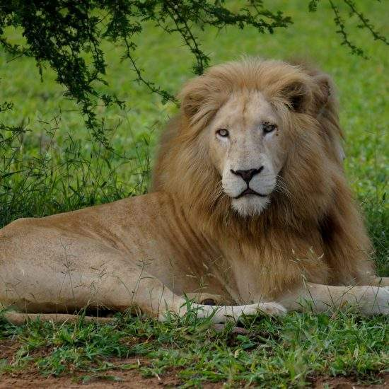 Male White Lion lying down in the green grass
