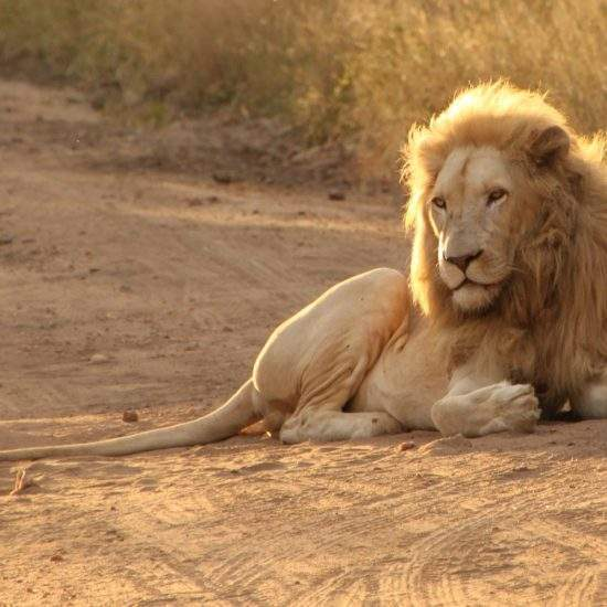 Male White Lion lying down on a sand road, backlit by the morning light making his mane look like flames of a fire
