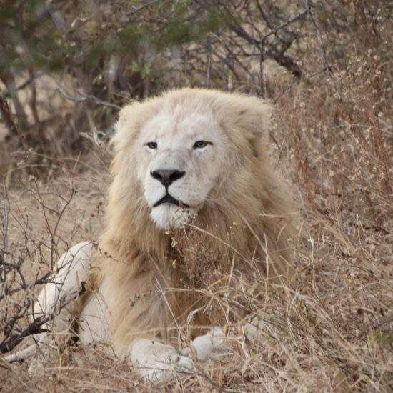 White Lion lying down in the dry bush