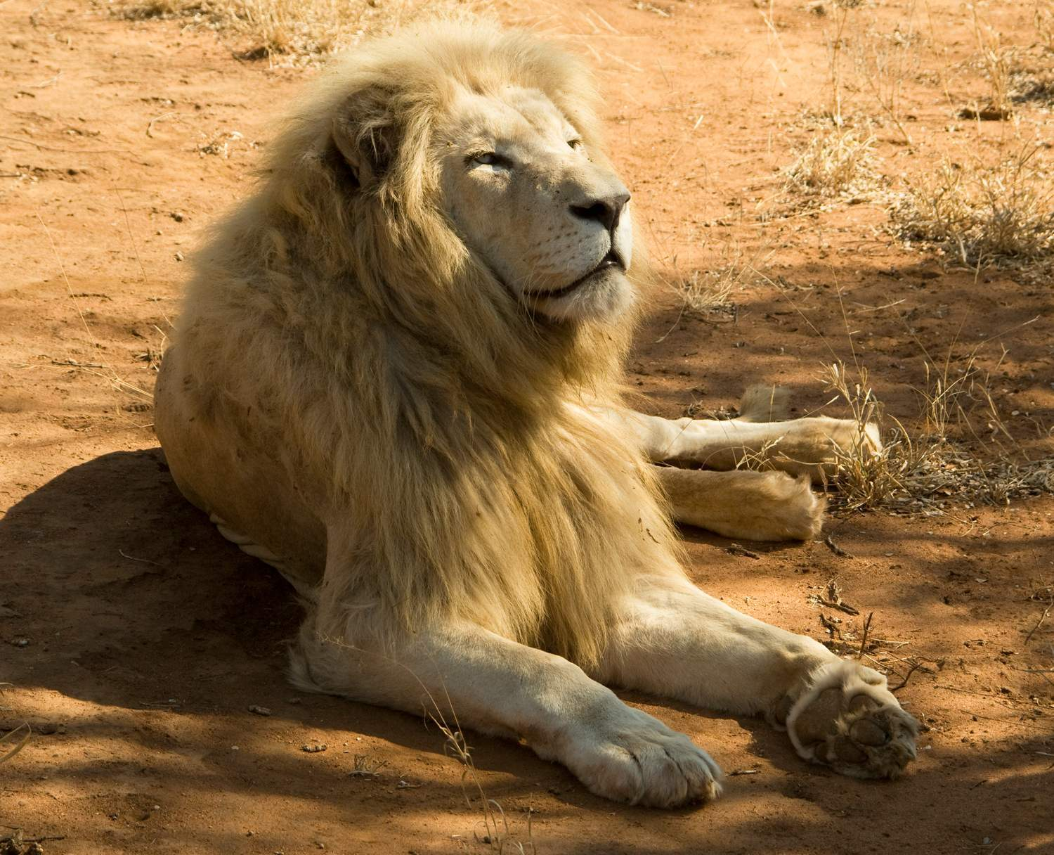 Male White Lion relaxing in the dappled shade