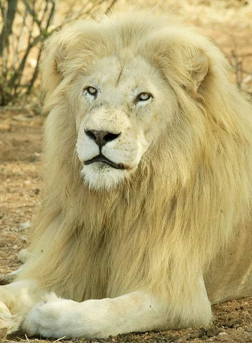 Close up of male White Lion