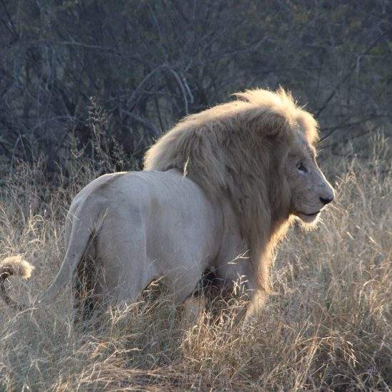 White Lion backlit by the morning light
