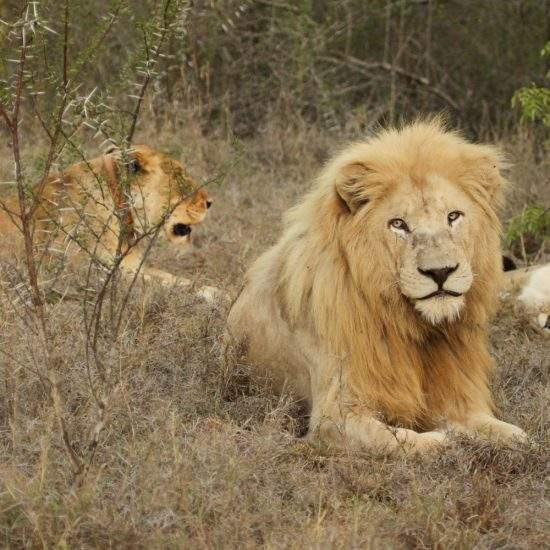 Male White Lion in foreground with two sleeping golden lionesses in the background