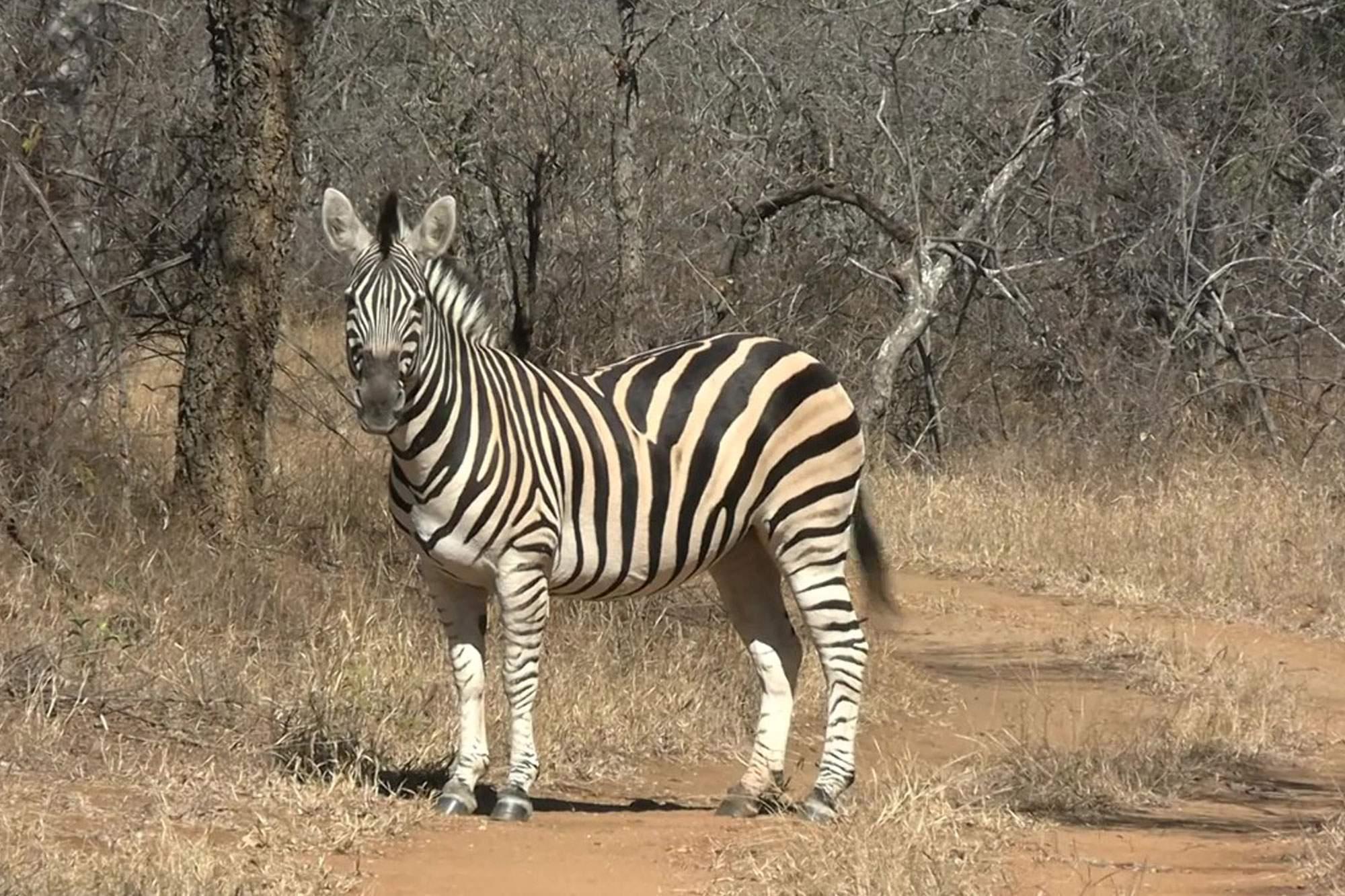 Zebra_web